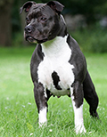 Dirk's Amstaff kennel Lillo